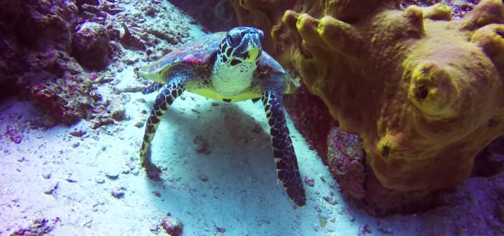 Weh Island Turtle